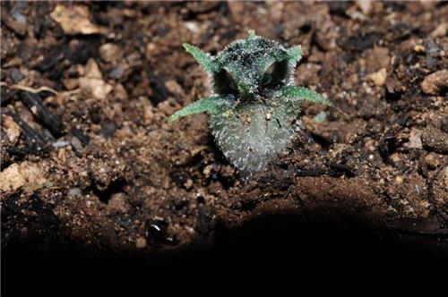 태국서 올빼미 꼭 닮은 새로운 식물 종 발견 화제1.jpg