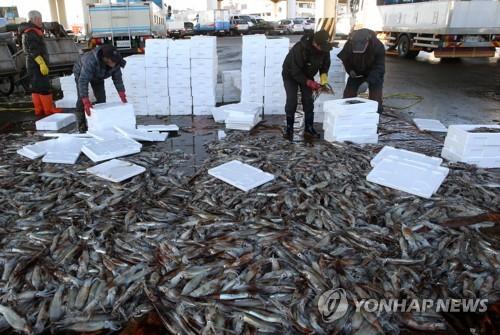 어디 갔다 왔니 동해안 1월 오징어 어획량 3.8배 급증.jpg