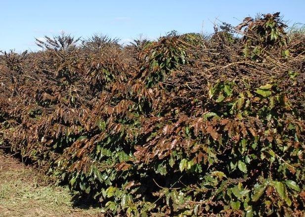 오르지 않는 커피 시세와 브라질 농가의 한숨.jpg